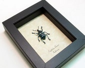 Real Framed Blue Beetle Snout Weevil Shadowbox Display 7858
