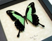 Framed Butterfly Best seller for 16 years Real Green Butterfly Display 157