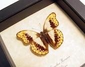 Real Framed Butterfly Cymothoe Herminia African Tribal Kuba Cloth Markings 221