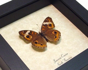 New Mexico Butterfly The Buckeye Real Framed Insect 672