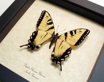 Dad's & Grad's Gift Real Tiger Swallowtail Butterfly Conservation Quality 562