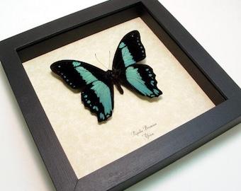 Framed Butterfly Best Seller 16 Years Real Blue Butterfly 7795