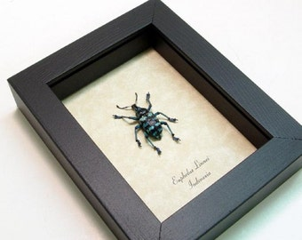 Real Framed Blue Beetle Snout Weevil Shadowbox Display 7858
