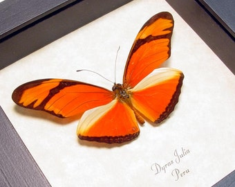The Julia Butterfly Real Framed Orange Butterfies 285