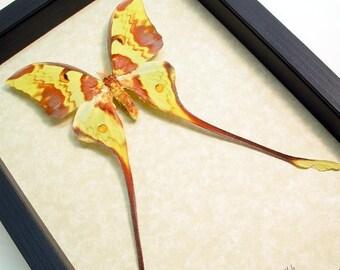 Real Framed Actias Maenas Male Long Tailed Malaysian Moon Moth 1030