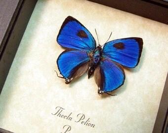 Real Framed Butterfly Thecla Pelion Blue Hairstreak 622