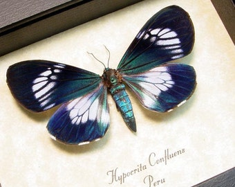 Real Framed Electric Blue Day Flying Moth Display Hypocrita Confluens Female 8176