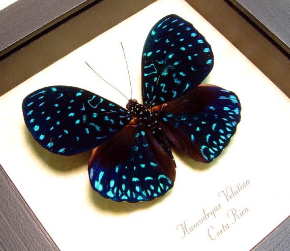 Starry Night Real Van Gogh Blue Butterfly Costa Rica 681