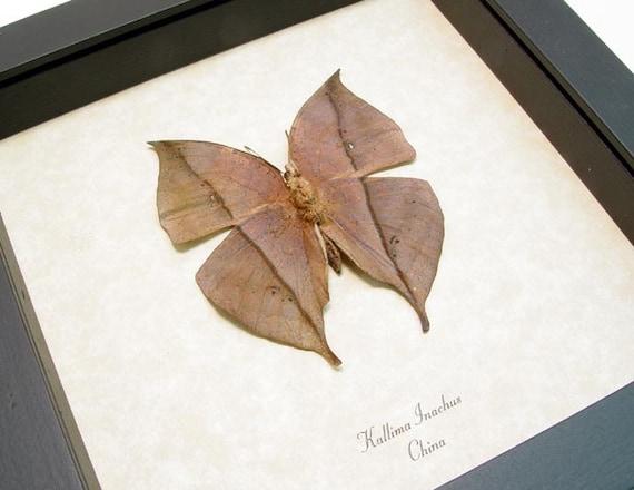 Real Framed Dead Leaf Mimic Butterfly Conservation 607v