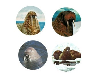 Walrus Magnets:  4 Cool Walrus for your home, your collection,  or to give as a unique gift