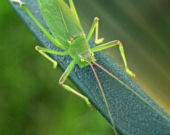 Insect photograph - Katydid fine art print - nursery, children, bright green, summer