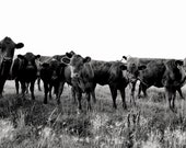 Curiosity Ranch Cattle Photograph, Black and White Farm Photography, Size 8x12