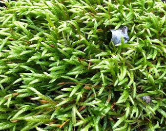 Rough Stalk Moss--terrarium supplies