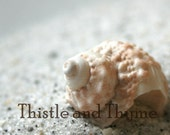 Murex Seashell photograph - 5x7 photographic nature print color or black and white