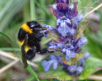 Joy of Bumble Bees Fine Art Photography Download