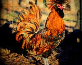 Farm Animal Photograph Country Fine Art Photography Rooster Rustic Western Print