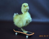 taxidermy of duckling mounted with skateboard,free shipping to everywhere,Birthday Gift,Christmas Gift