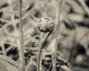 May fern, 8x10 fine art black & white photograph, nature