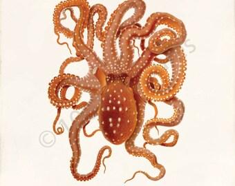 Antique Octopus Art Print - Octopus macropus - Natural History