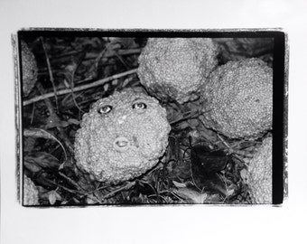 Black and white original photograph hedge apple face