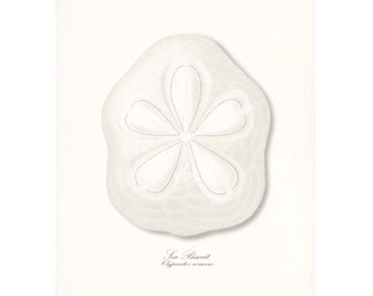 Coastal Decor Sea Shell Art Print - Giant Sea Biscuit Nautical Giclee Print