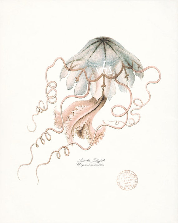 Vintage Atlantic Jellyfish Natural History Giclee Art Print 8x10