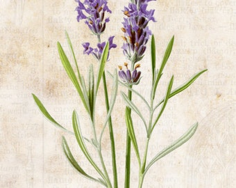 Vintage French Botanical Lavende Floral Wall Decor At Checkout, Choose Lustre Print or Gallery Wrapped Canvas
