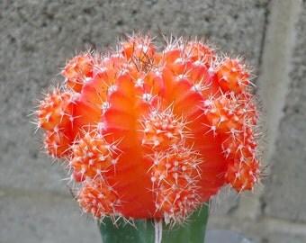 Orange Moon Cactus Gymnocalycium Mihanovichii