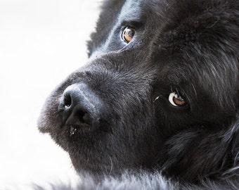 Sad dog photography. Newfoundland dog print. Black and white dog photo. Gift for dog lovers. Kids nursery or bedroom wall decor photograph