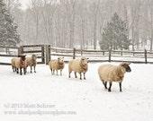 "Sheep Art Photograph Print - ""Dinner Time"" Fine Art - Farm Snow Winter"