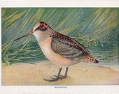 vintage bird print from the 1920's, a charming illustration of a woodcock.