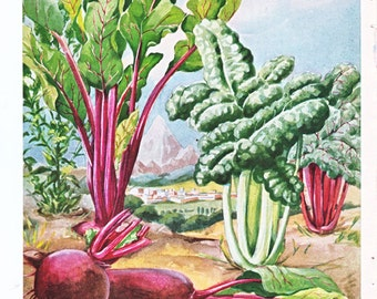 vintage illustration of beets and swiss chard, an Else Bostelmann illustration from 1949.