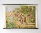 Vintage kangaroo school pull down chart map Australia German zoology print