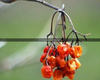 "Nature ""Dried Berries"" Fine Art Photograph"