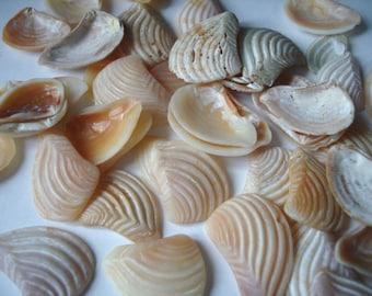Tumbled clam shell fragments, SAL