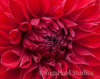Red Dahlia 4 -- Fine Art Floral Photography Print -- Photo, Home Decor, Flowers, Art