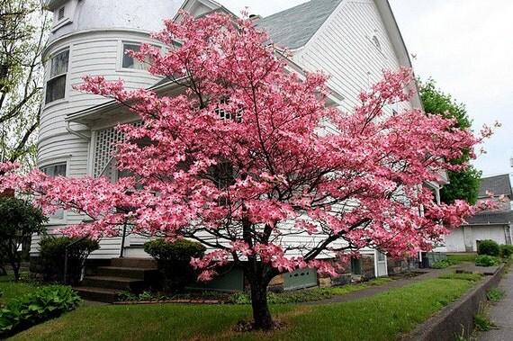 rosa bl ten hartriegel cornus florida rubra 15 samen rosa. Black Bedroom Furniture Sets. Home Design Ideas
