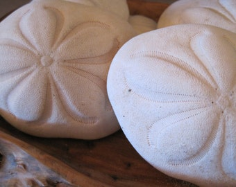 Large Sea Biscuits (2) - Seashell Supply  - Seashells - Sand Dollar - Seashell craft supply - Beach Wedding
