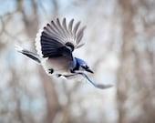 Blue Jay: The Art of Staying Aloft No 35  (Cyanocitta cristata)