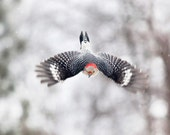 The Art of Staying Aloft No.40  Red-bellied Woodpecker (Pheucticus ludovicianus)