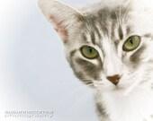 Tabby Cat, fine art photography, 8x10, home decor,