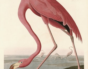 Audubon American Flamingo no.431 Large Reproduction Bird  Print