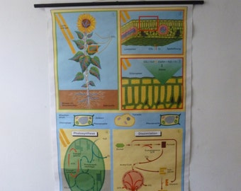 Sunflower School Chart - Vintage Botanical Print Science Poster - Photosynthesis Germany 1994