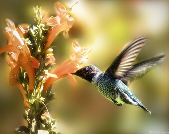 """Hummingbird Photography - hummingbird with orange flower, nature photography, bird photography, summer photos, bird decor - """"Indian Summer"""""""