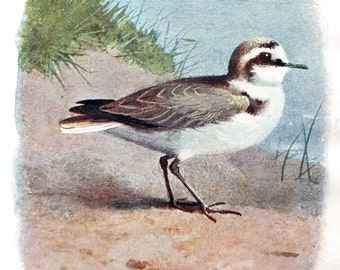 Kentish Plover - Antique Bird Print - Vintage Bird Picture - Thorburn Bird Print - Home Decor
