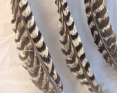 """White Stripped Turkey Feather 8-10"""" long"""