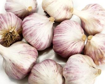 Chesnok Red Garlic Bulbs Organic Grown Gourmet - 1 lb. For Planting or Cooking Fall Shipping
