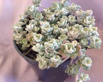 This is a listing for 2 plants, Sedum spathulifolium aka Capo Blanco. Tiny powdery white rosettes atop stems.