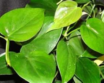 Heart Leaf Philodendron Starter Houseplant