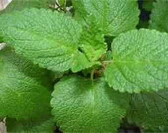 Zesty Lemon Balm Perennial Herb Plant